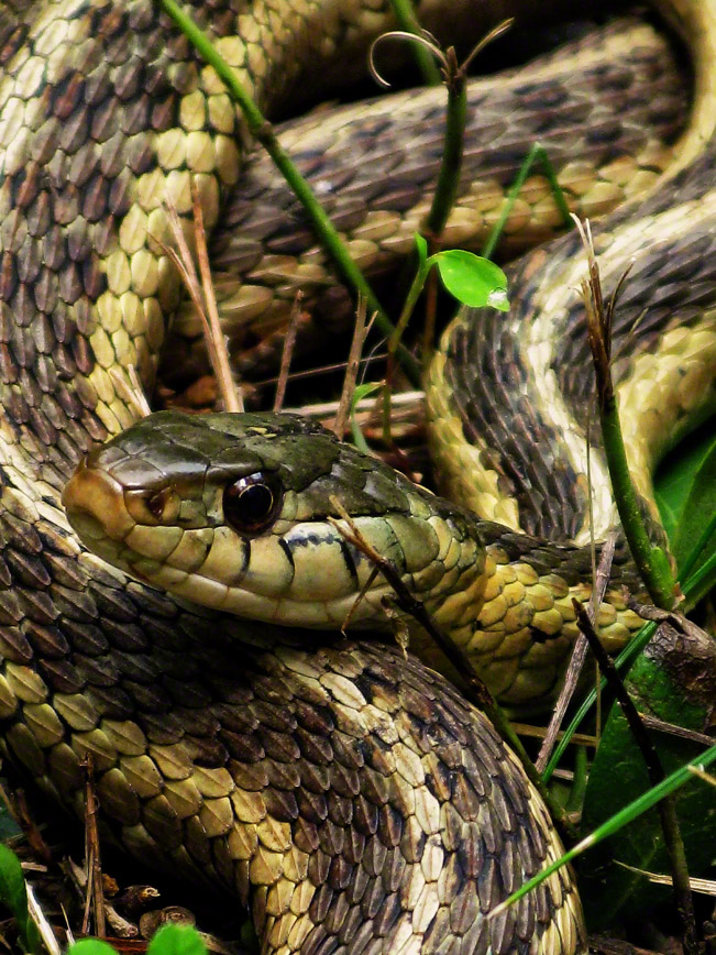 upper saucon twp, pennsylvania, garter snake, guardian, , photo