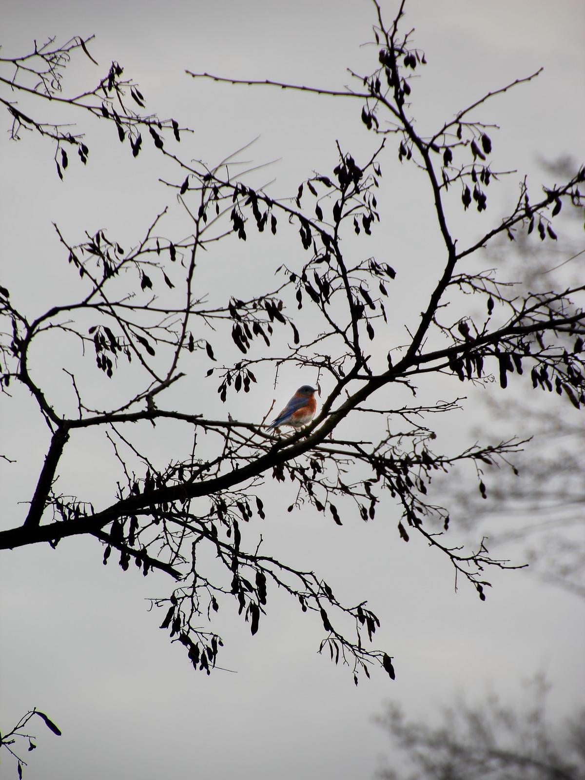 upper saucon twp, pennsylvania, color, bluebird, winter,, photo