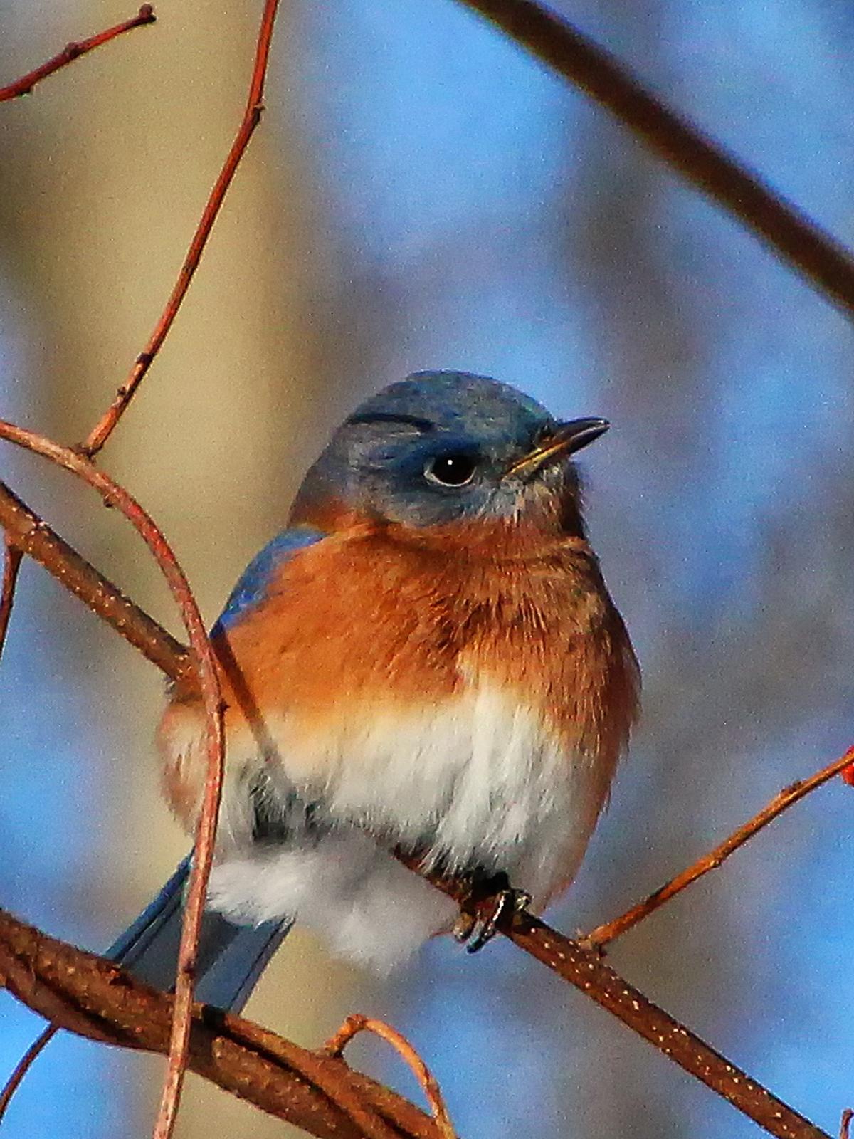 pennsylvania, upper saucon twp, january, bluebirds, berries, woods, , photo