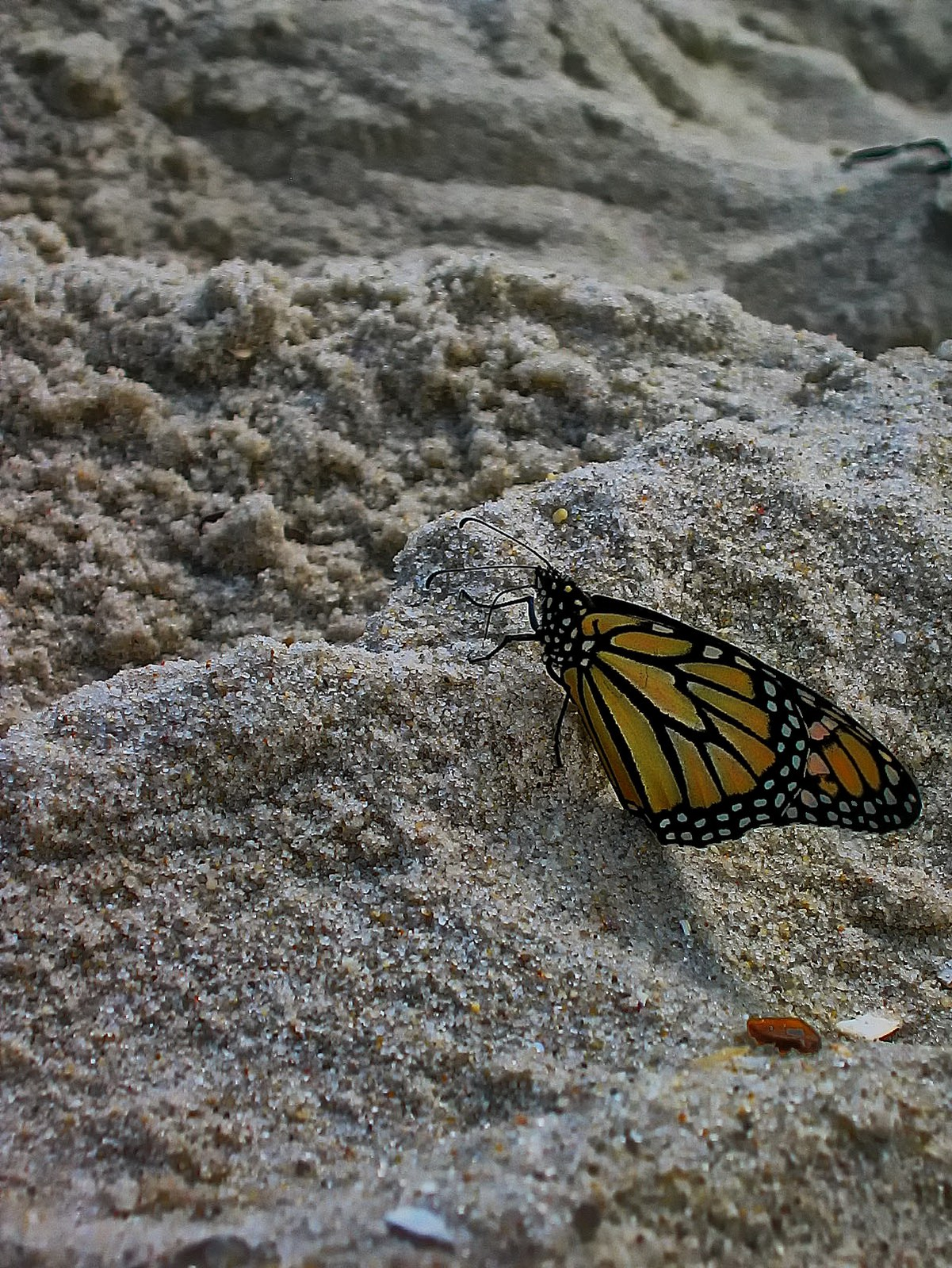 This butterfly flew miles and climbed great dunes for a view of the ocean.