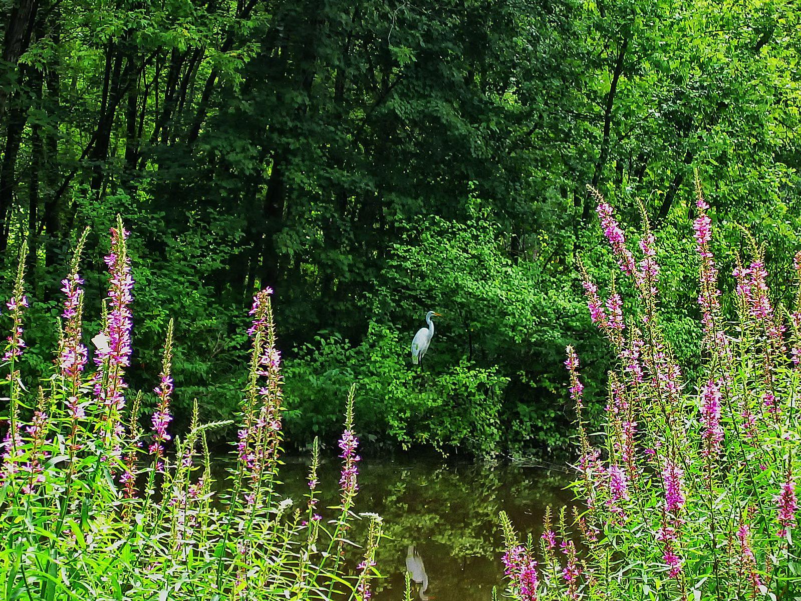 pennsylvania, haycock, great egret, morning, water, , photo