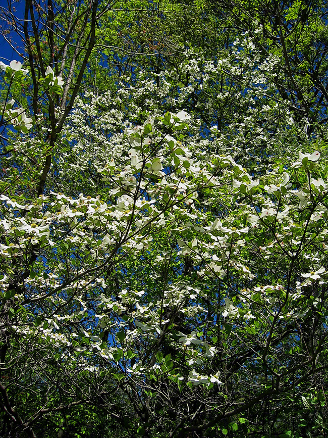 pennsylvania, haycock, native dogwood, blooms, spring, , photo