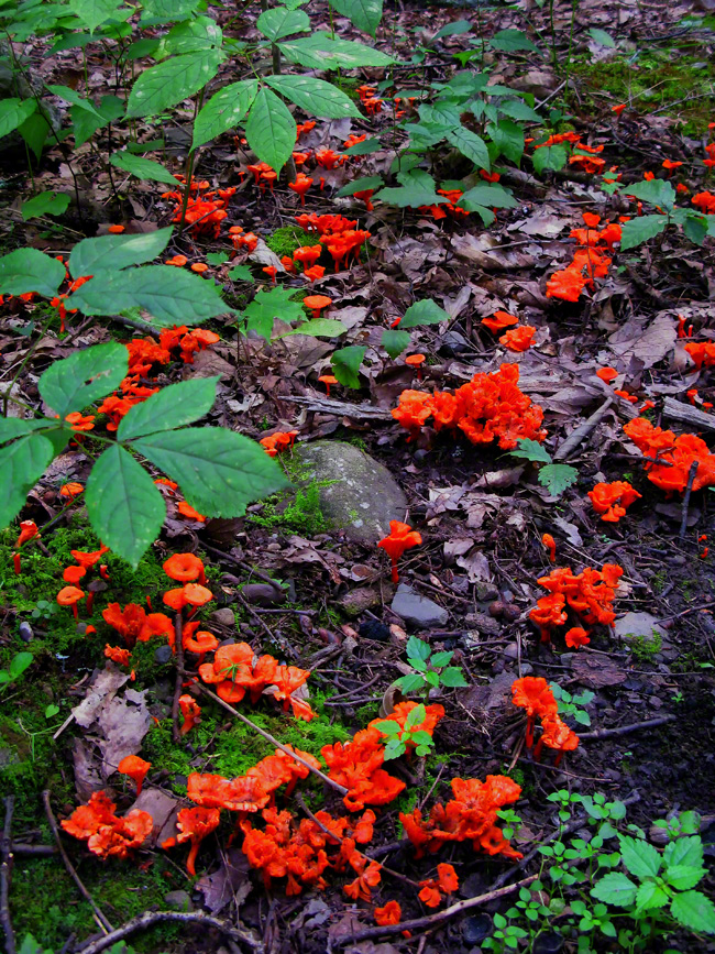This bright orange fungus lit up the forest floor like fire.