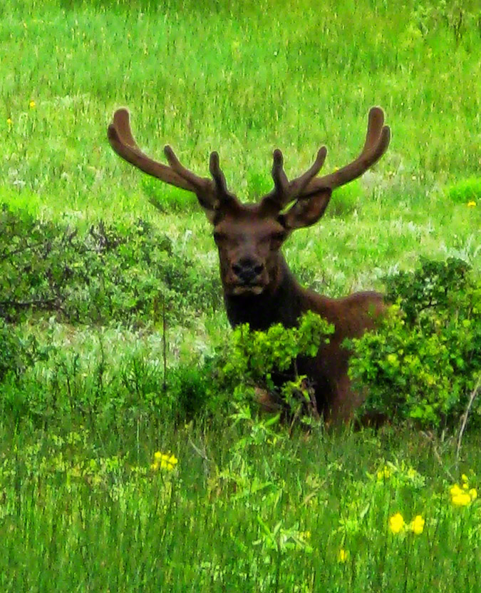 This large male Elk was showing off its rack to remind everybody of his  close proximity.