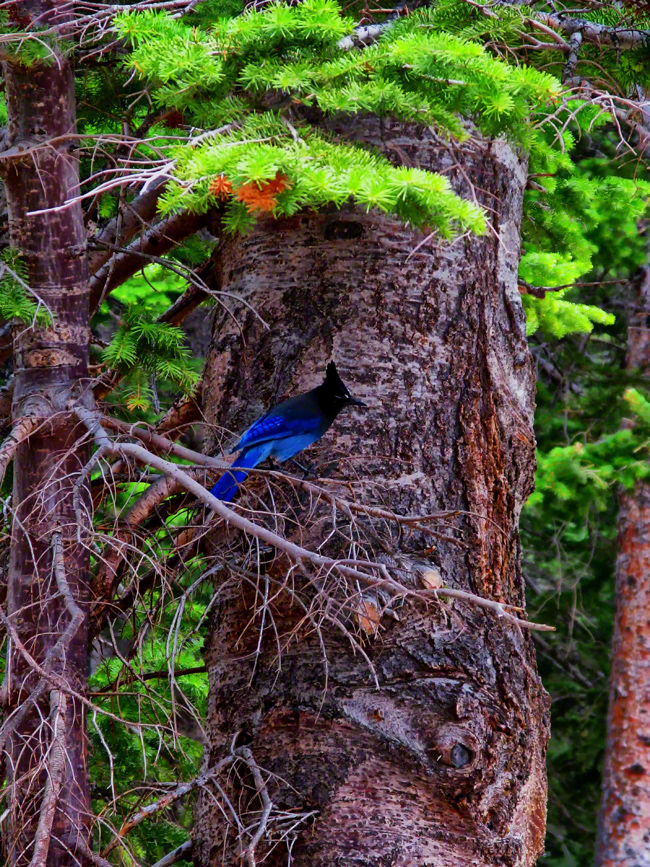 colorado, rocky mountain national park, rockies, stellers jay, songbird, forest, , photo