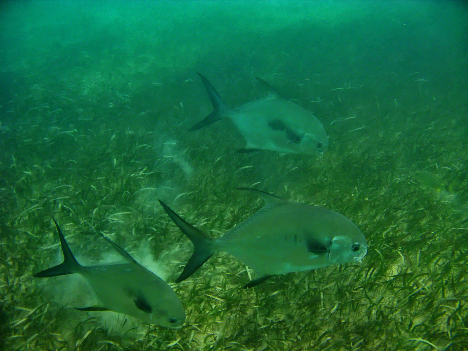 The Permit is a fish much like the Angelfish reaching the size of a dinner plate.